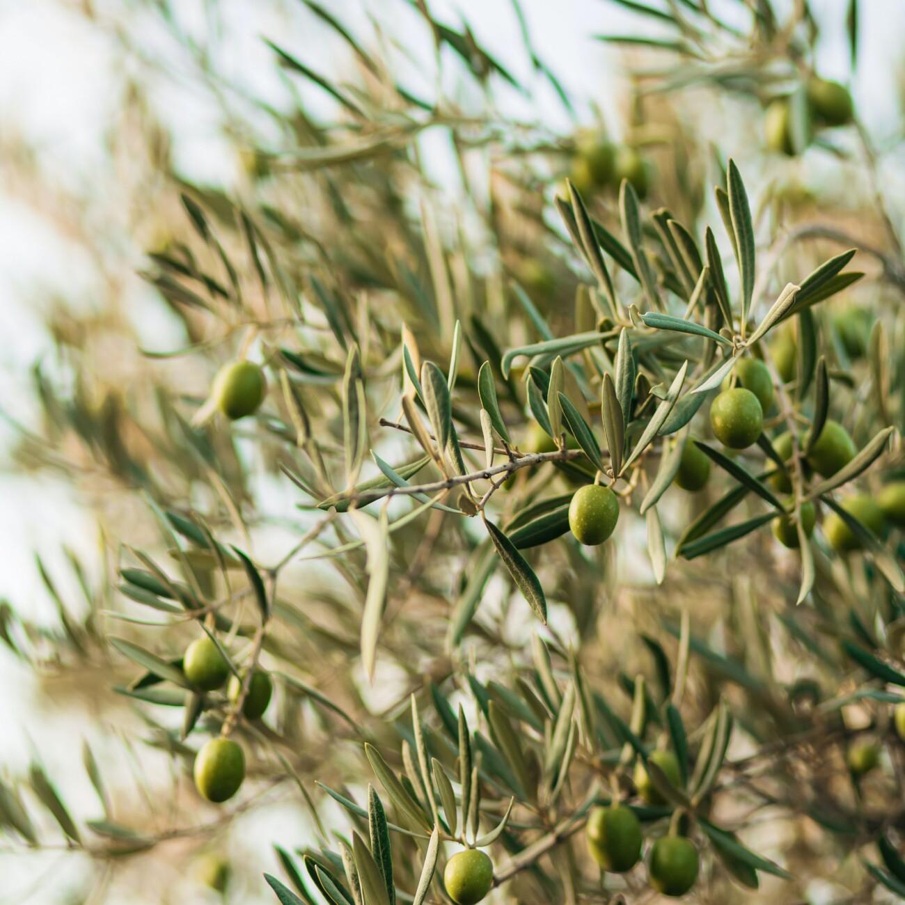 L'huile d'olive - Bioliniment